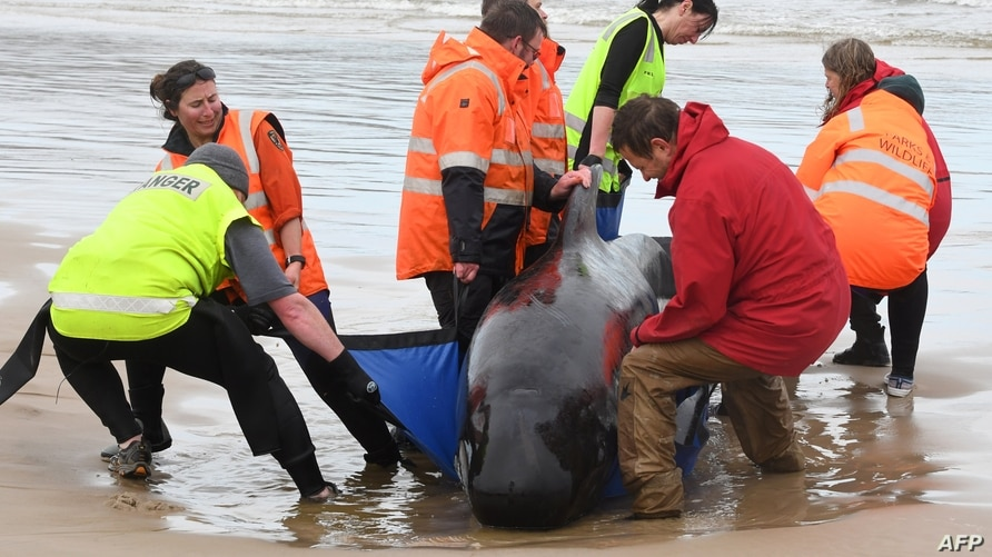 This handout photo taken and received from Brodie Weeding from The Advocate, Sept. 22, 2020, shows rescuers working to save a pod of whales stranded on a beach in Macquarie Harbour on the rugged west coast of Tasmania, Australia.