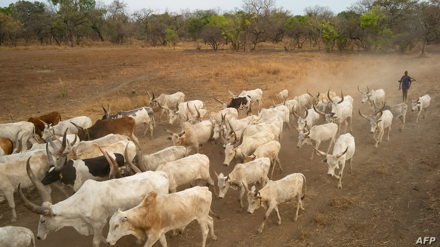 Cattle keepers walk with their cows during a seasonal migration of their cattle for grazing near Tonj, South Sudan on February…