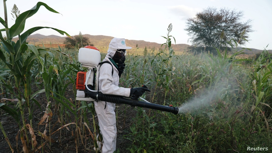 A man sprays pesticides against a swarm of locusts at a farm in Jawaha village near Kamise town, Amhara region, Ethiopia…