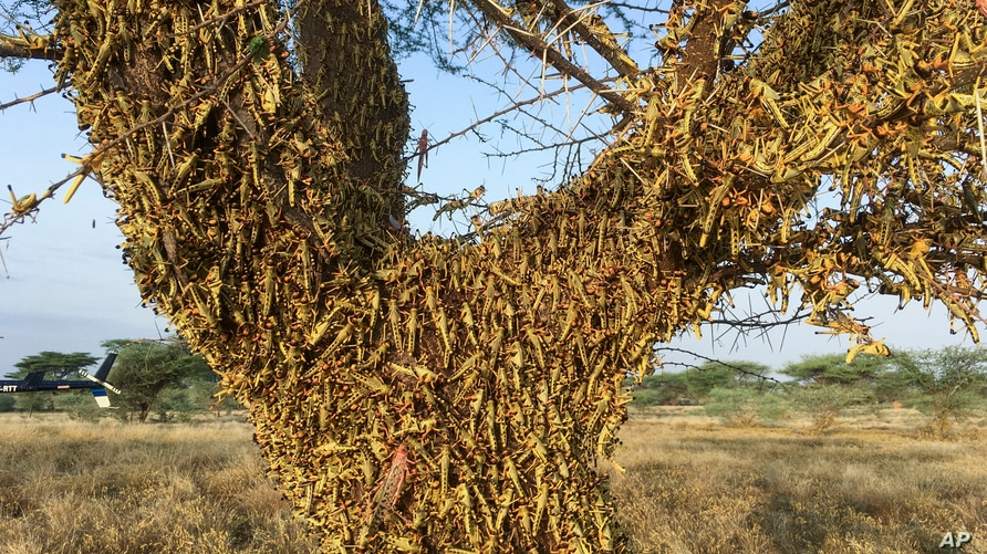 Locusts swarm on a tree south of Lodwar town in Turkana county, northern Kenya Tuesday, June 23, 2020. The worst outbreak of…