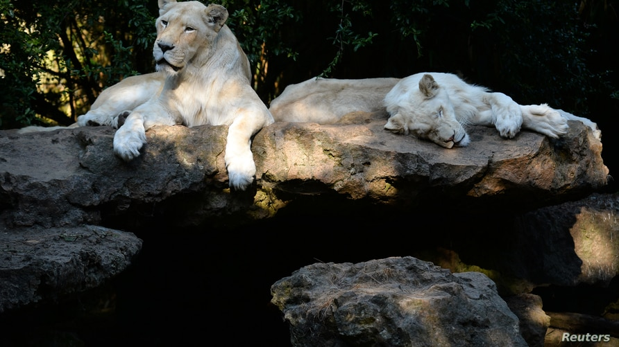 While lions rest in their enclosure in La Fleche zoological parc, western France, on August 7, 2020, as a heat wave hits France…