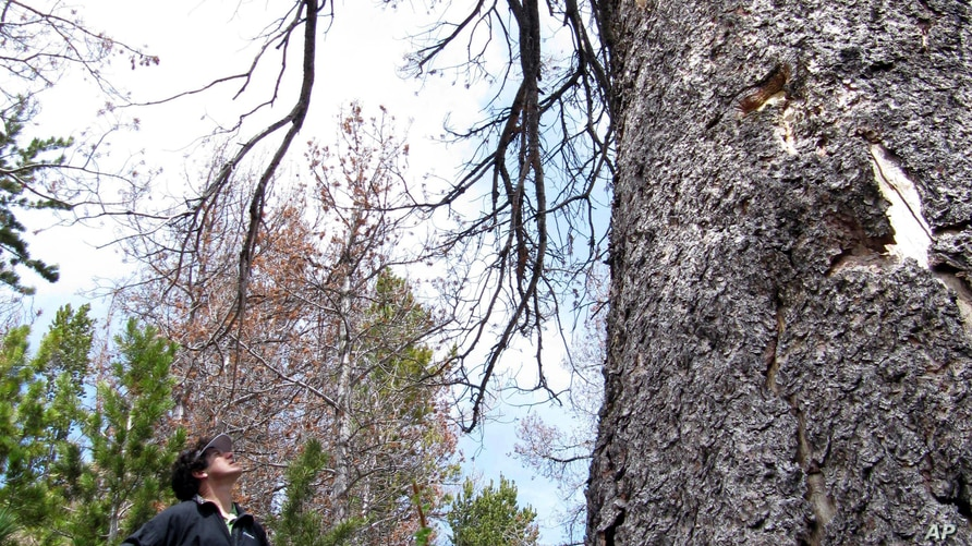 FILE - In this June 23, 2010 file photo environmentalist David Gonzales, of Jackson, Wyo., looks up at a dead whitebark pine…