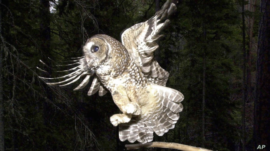 FILE - In this May 8, 2003, file photo, a Northern Spotted Owl flies after an elusive mouse jumping off the end of a stick in…