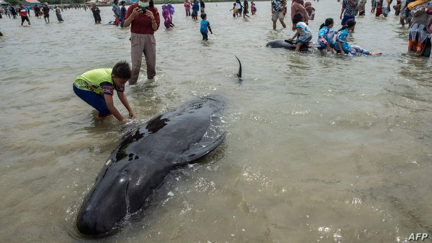 People try to save short-finned pilot whales beached in Bangkalan, Madura island on February 19, 2021, as some 49 pilot whales…