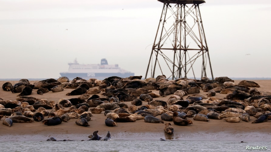 Grey seals rest on a sandbank close to Walde lighthouse in Marck near Calais, France, February 4, 2021. Picture taken on…