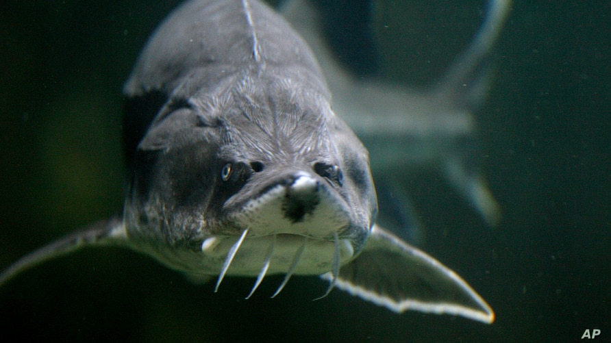 A Sturgeon is seen in an aquarium in the Danube river port city of Tulcea, Romania on May 17, 2011. The sturgeon thrived in the…