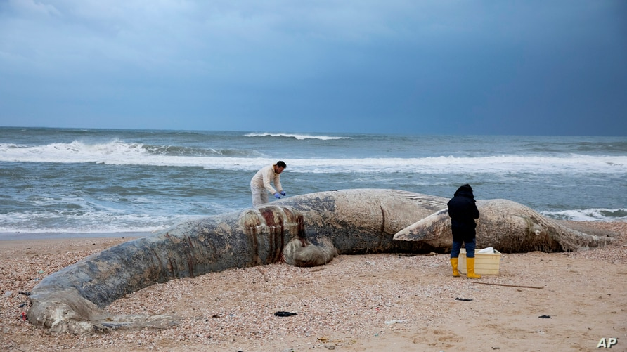Danny Morick, marine veterinarian, and Aviad Scheinin take samples from a 17 meters (about 55 feet) long dead fin whale washed up on a beach in Nitzanim Reserve, Israel, Feb. 19, 2021.