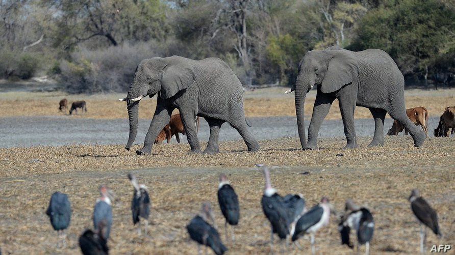Elephants walk through one of the dried channel of the wildlife reach  Okavango Delta near the Nxaraga village in the outskirt…