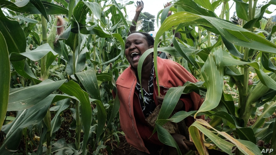 A picuture taken on February 8, 2021, shows a local farmer screaming to chase away desert locusts at maze field in Meru, Kenya…