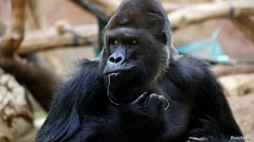 Richard, a western lowland gorilla, who was tested positive for COVID-19 on February 25, 2021, sits inside its enclosure at…