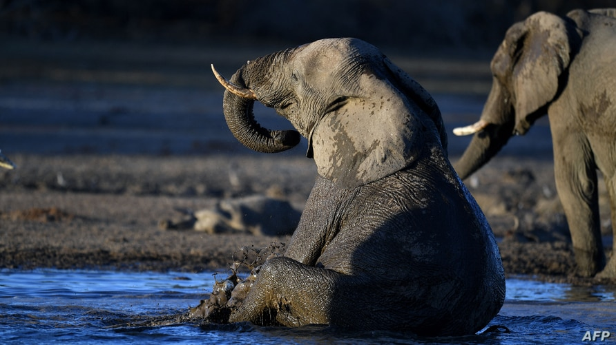 FILE - An elephant sits in the water in one of the dry channels of the wildlife reach Okavango Delta near the Nxaraga village in the outskirt of Maun, Botswana, Sept. 28,  2019.