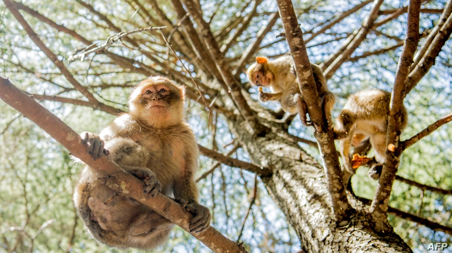 Barbary macaques sit in tree branches in a forest near the Moroccan town of Azrou, in the Atlas mountain chain on April 15,…