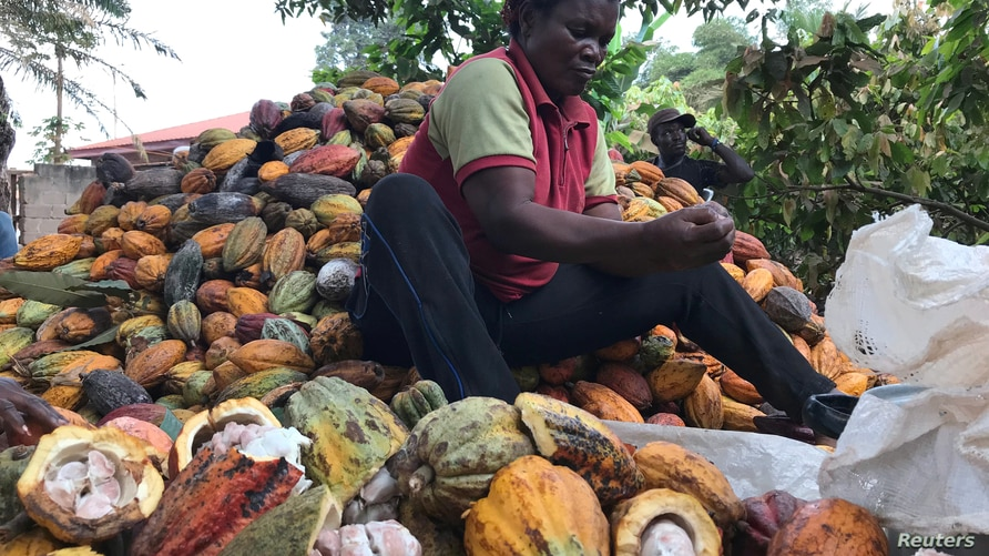 A farmer works on cocoa pods in Ntui village, Cameroon, December 17, 2017. Picture taken December 17, 2017. REUTERS/Ange Aboa