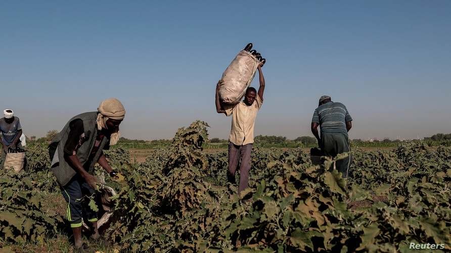 FILE - A farmer collects eggplants with his workers on a field on Tuti Island, Khartoum, Sudan, Feb. 14, 2020.