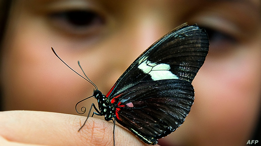 A butterfly  of the family of Lepidopteros lands on the finger of a girl at the Botanic Garden Jose Celestino Mutis during an …