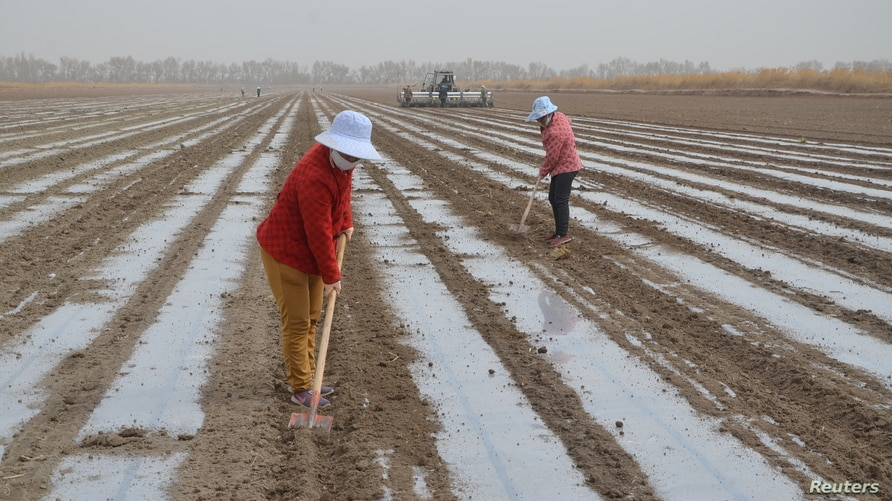 A precision seeder machine sows seeds near workers working on a cotton field of Xinjiang Production and Construction Corps, in…