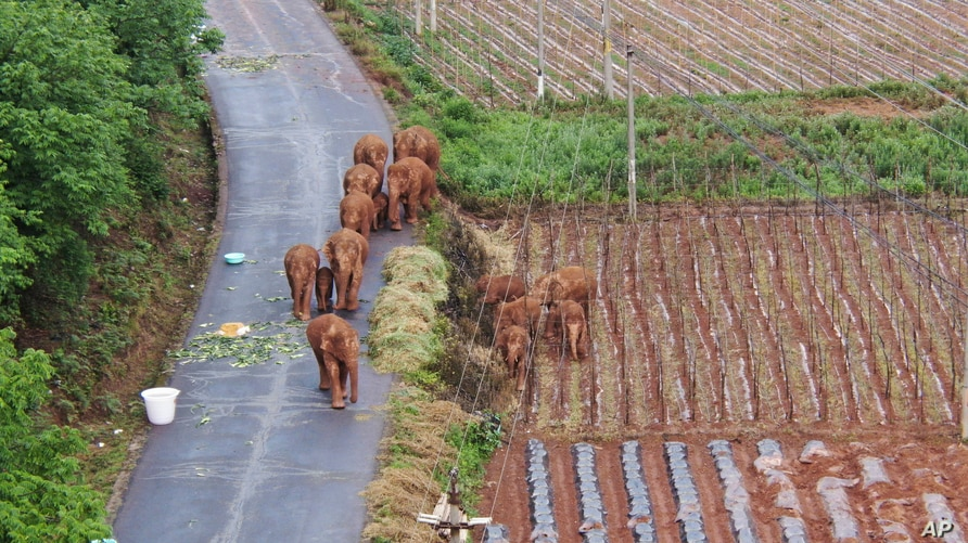 A migrating herd of elephants roam through farmlands of Shuanghe Township, Jinning District of Kunming city in southwestern China's Yunnan Province, June 4, 2021.