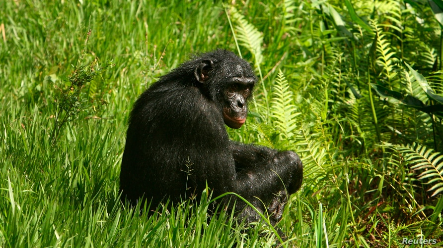 A bonobo ape, a primate unique to Congo and humankind's closest relative, sits in the grass at Lola Ya Bonobo sanctuary just…