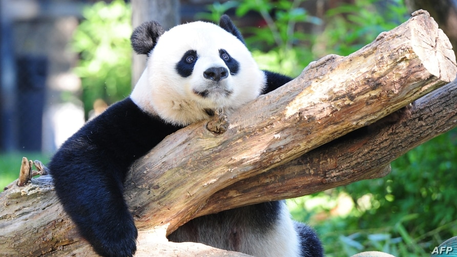 (FILES) In this file photo taken on August 24, 2016 female giant panda Mei Xiang rests in her enclosure at the National Zoo in…