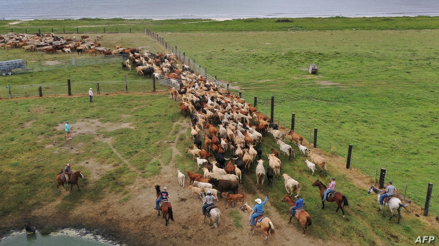 CAMERON, LOUISIANA - AUGUST 25: In this aerial view from a drone, cowboys round up cattle on a pasture next to the Gulf of…