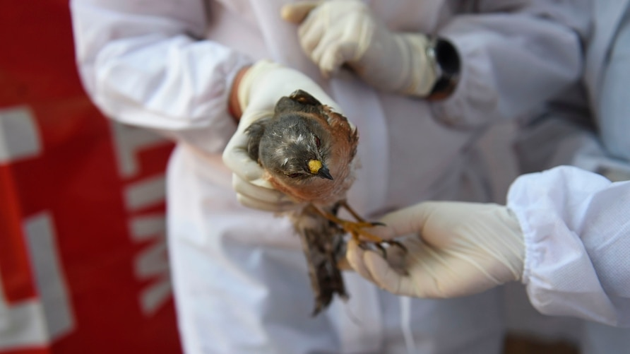 Volunteers wearing Personal Protective Equipment (PPE) as a precaution against the spread of bird flu treat an injured rescued…