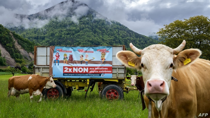 (FILES) This file photo taken in Ollon, western Switzerland on May 19, 2021 shows an electoral poster surrounded by cows…