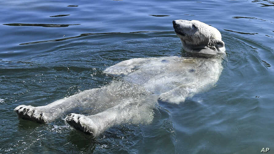 Polar bear Nanook takes a bath during an extreme hot summer, July 24, 2019 at the zoo in Gelsenkirchen, Germany.