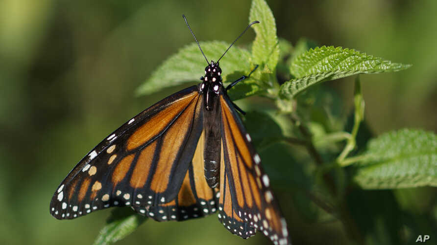 FILE - In this Monday, July 29, 2019 file photo a monarch butterfly rests on a plant at Abbott's Mill Nature Center in Milford, Del. Seven environmental and animal protection groups teamed up to file the first lawsuit challenging the Trump…