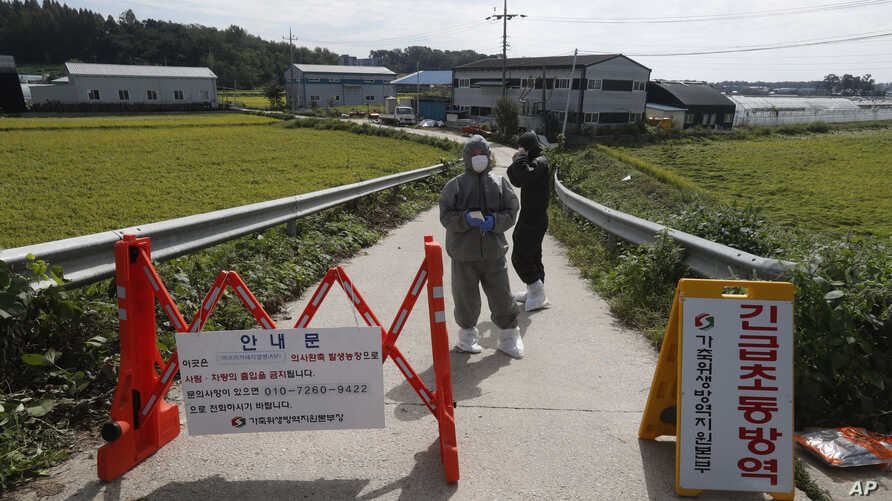 Quarantine officials wearing protective gear stand as a precaution against African swine fever at a pig farm in Paju, South Korea, Tuesday, Sept. 17, 2019. South Korea is culling thousands of pigs after confirming African swine fever at a farm near…