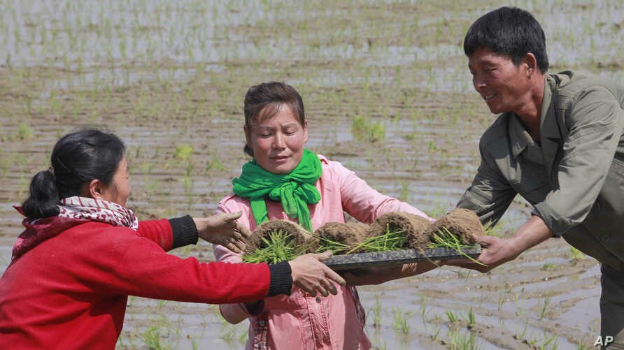 In this May 12, 2019, photo, farmers replant rice seedlings in a field in Chongsan-ri, North Korea. South Korea vowed Monday, May 20, 2019, to move quickly on its plans to provide $8 million worth of humanitarian aid to North Korea while it also…