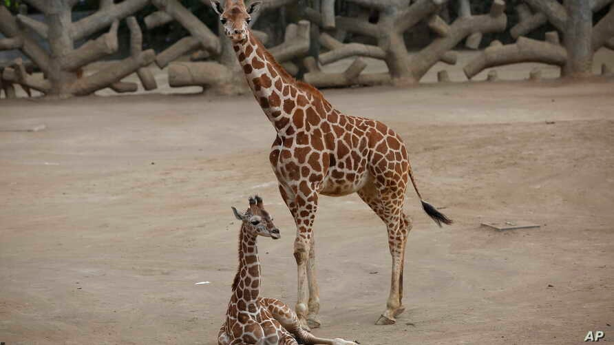 A two-month-old giraffe sits in her enclosure at the Chapultepec Zoo in Mexico City, Sunday, Dec. 29, 2019. The Mexico City zoo…