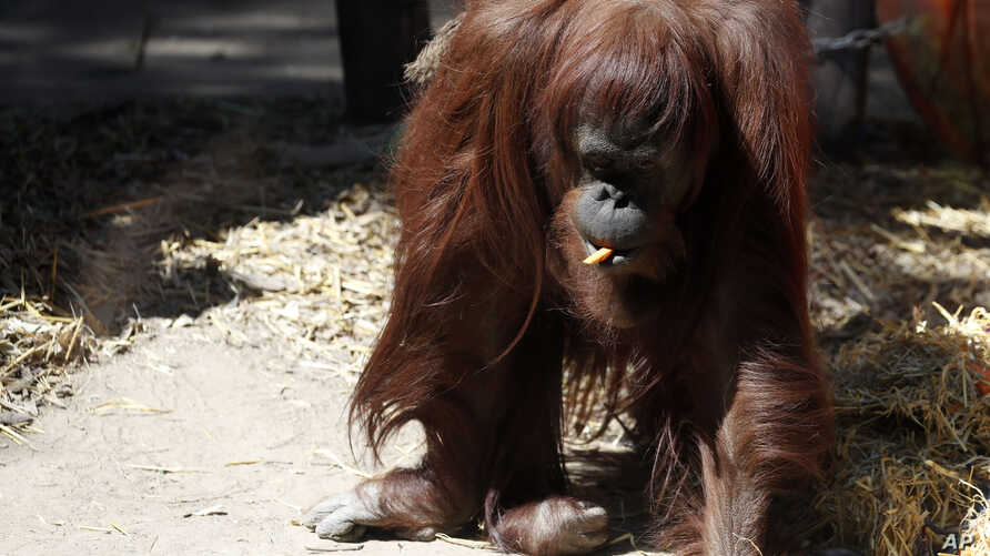 The orangutan Sandra walks in her enclosure at the former city zoo now known as Eco Parque, in Buenos Aires outskirts,…
