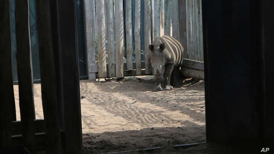 FILE - In this file photo taken Monday, Feb. 15, 2016 a young rhino, whose mother was killed by poachers, stands in its…