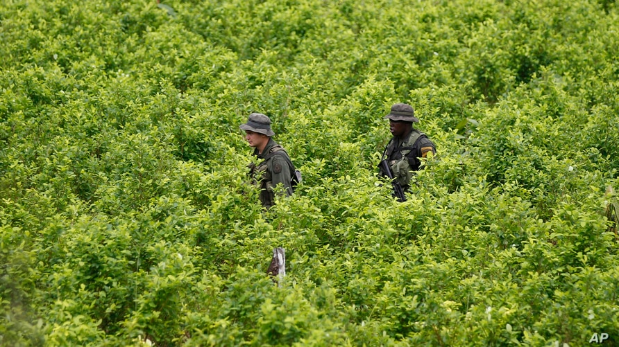 FILE - In this Aug. 15, 2012 file photo, police patrol a coca field as hired farmers uproot coca shrubs as part of a manual…