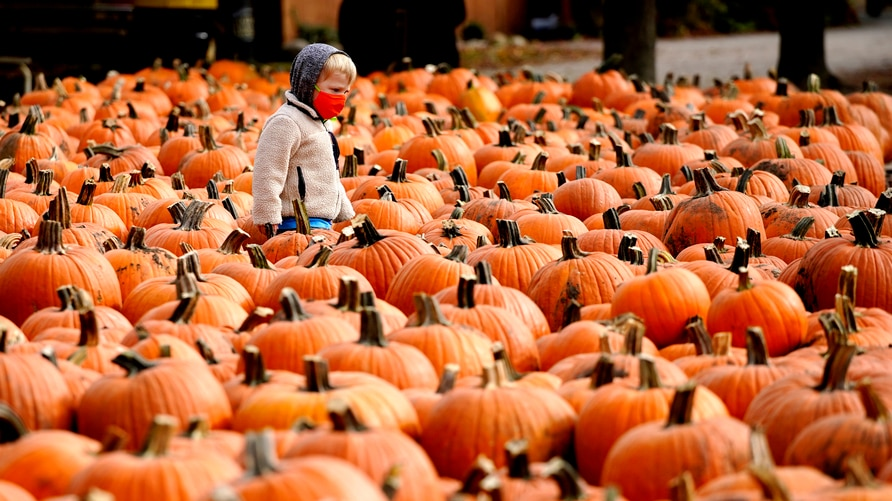 A boy wears a face mask as he looks around pumpkins at the Didier Farms in Lincolnshire, Ill., Thursday, Oct. 15, 2020. The…