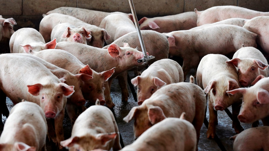 FILE- In this July 21, 2017, file photo, young hogs owned by Smithfield Foods gather around a water source at a farm in…