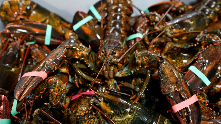 FILE - In this Wednesday, Nov. 18, 2020 file photo, lobsters sit in a crate at a shipping facility in Arundel, Maine. The…
