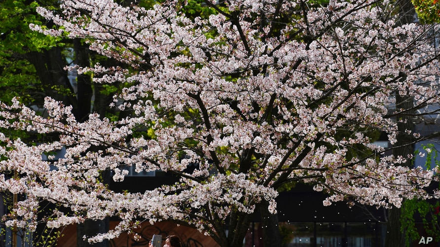 Cherry blossoms bloom March 31, 2021, in Tokyo.
