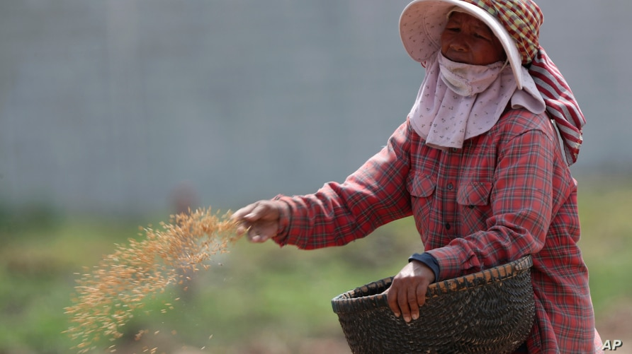 A Cambodian farmer throws rice seeds onto her paddy fields at Snoar village, outside Phnom Penh, Cambodia, Sundays, May 2, 2021…