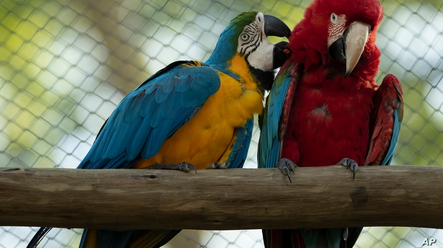 A blue-and-yellow macaw grooms a red-and-green macaw, inside an enclosure at BioParque, in Rio de Janeiro, Brazil