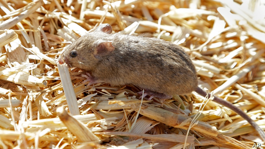 A mouse sits on top of hay stored by Bruce Barnes on his family's farm near Bogan Gate, Australia on May 20, 2021. Vast tracts…