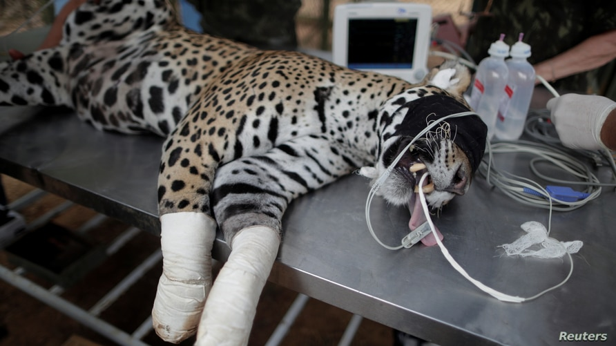 An adult female jaguar named Amanaci receives stem cell treatment on her paws after burn injuries during a fire in Pantanal, at NGO Nex Institute in Corumba de Goias