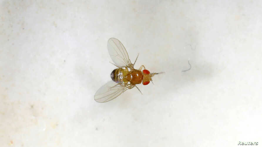 FILE PHOTO: A fruit fly is seen in a laboratory at the Bar-Ilan University, in Ramat Gan, Israel, May 1, 2018. REUTERS/Amir Cohen/File Photo
