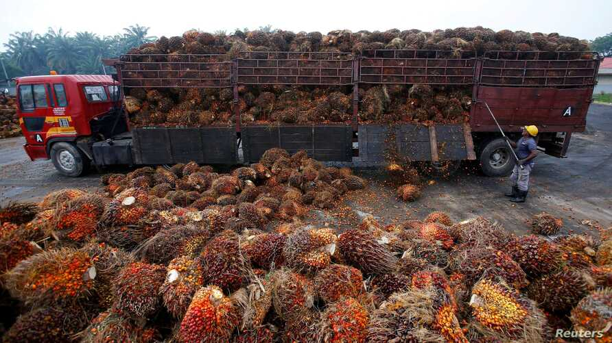 FILE PHOTO: A worker unloads palm oil fruits from a lorry inside a palm oil factory in Salak Tinggi, outside Kuala Lumpur,…