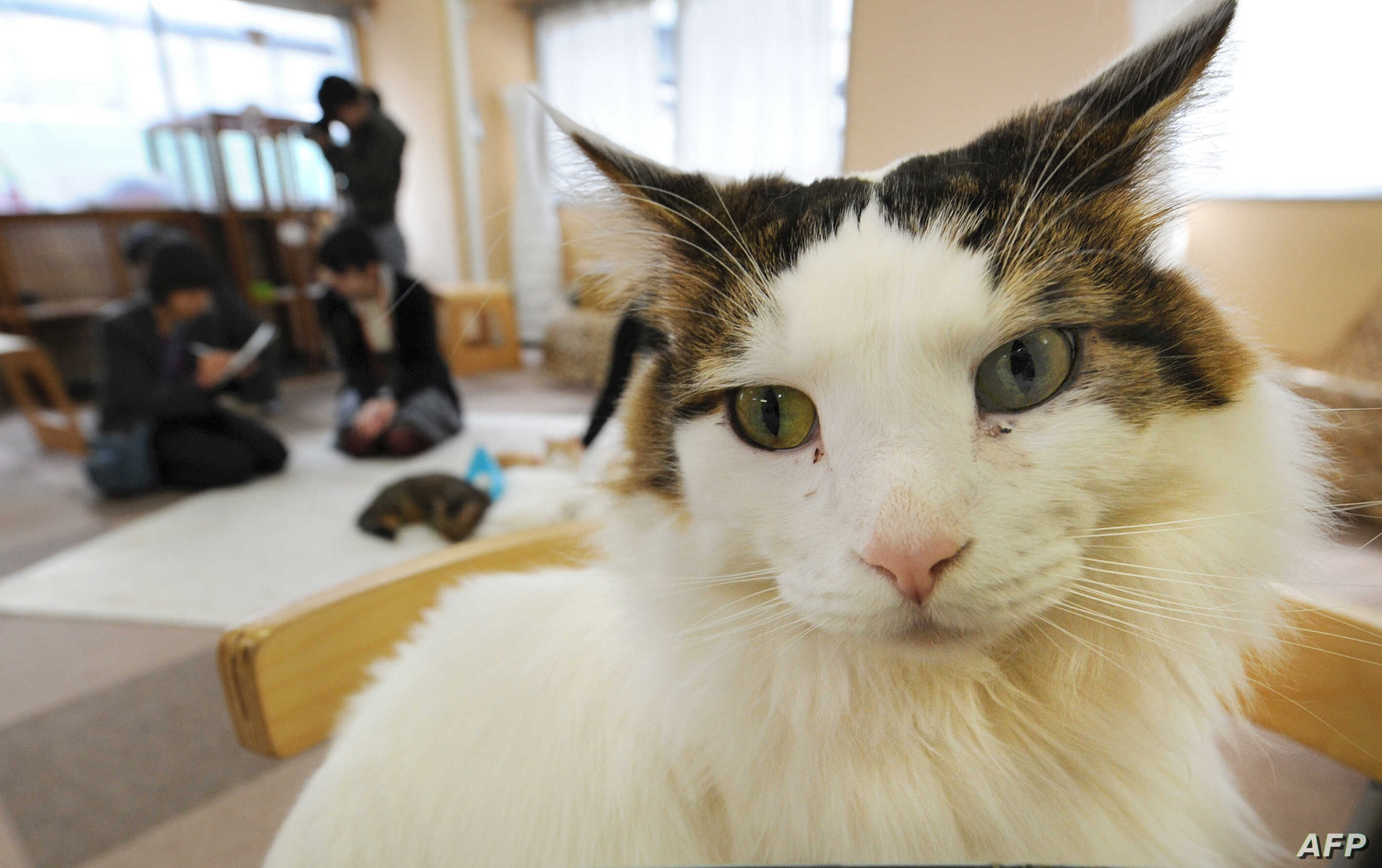 Cats At Japan S Cat Cafes Now Allowed To Stay Up Till 10 Voice Of America English