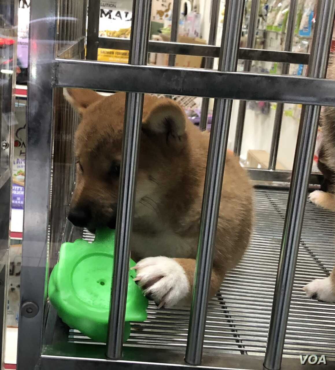 Once Almost Extinct In Japan This Dog Breed Thrives In Taiwan Voice Of America English