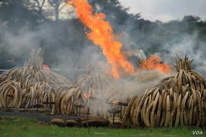 Ivory piles begin to burn at Nairobi National Park, Kenya, April 30, 2016. On Saturday, 105 tons of elephant ivory and more than 1 ton of rhino horn were destroyed in a bid to help stamp out the illegal ivory trade.