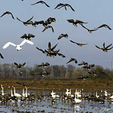 A flock of geese take flight from a rice field near East Nicolaus, California (File)