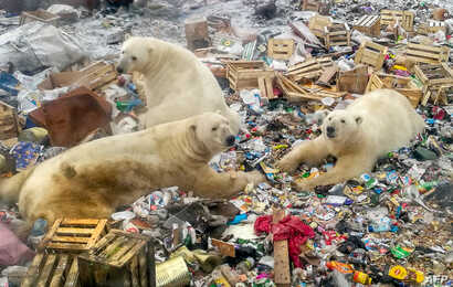 Polar bears feed at a garbage dump near the village of Belushya Guba, Oct. 31, 2018. The village in the remote Russian northern Novaya Zemlya archipelago is a tightly-controlled military area where a state of emergency was declared in February after ...
