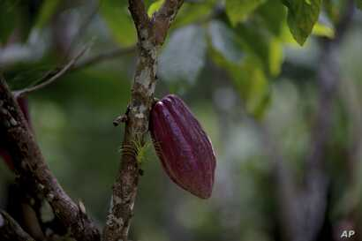 FILE -A cacao pod hangs from a tree at the Agropampatar chocolate farm co-op in El Clavo, Venezuela, April 16, 2015.